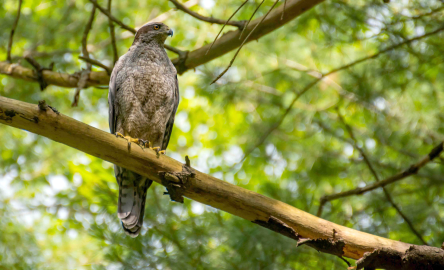 Image of a hawk