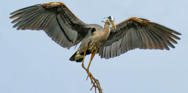 Image of a heron