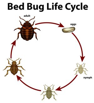 Bed bug life cycle chart