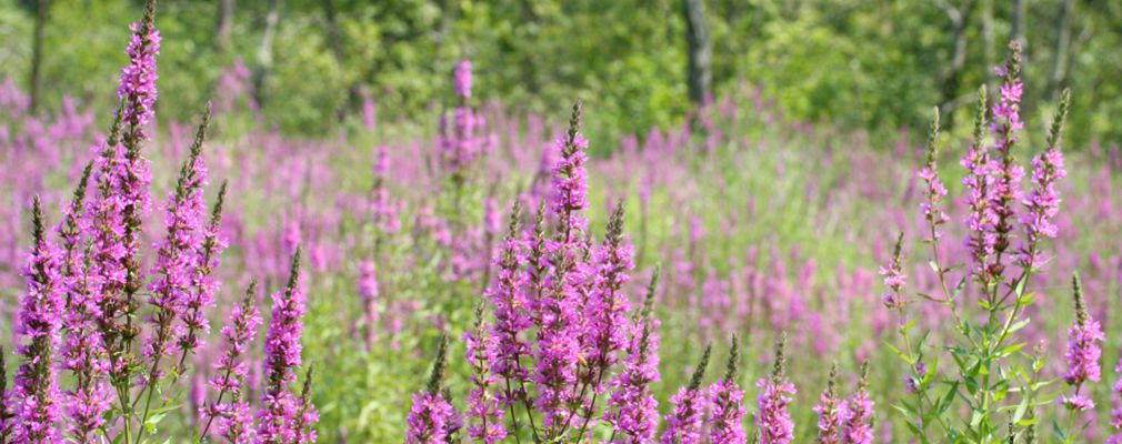 Image of purple loosestrife